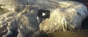 Pelosa e biancastra: mostruosa creatura marina ritrovata nelle Filippine (video)