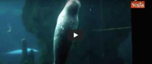 Acquario di Genova, il cucciolo di foca si addormenta e il video diventa virale