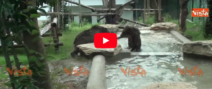 Furono rapiti da piccoli, ora gli orsetti albanesi trovano casa al Bioparco (video)