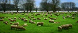 Ecopascolo, in venti parchi romani arrivano le pecore. Parola di Virginia Raggi