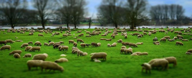 Per sfalciare l'erba arrivano le pecore. L'ultima trovata del Comune di Roma (video)