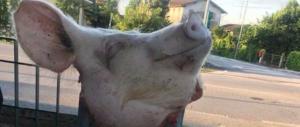 Pordenone, una testa di maiale davanti al centro per richiedenti asilo