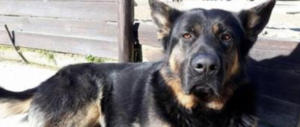 Massacrato di botte Kuma, il cane-mascotte dei bimbi: cranio fracassato