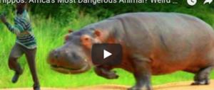 Safari tragico in Kenya: turista sbranato da un ippopotamo (video)
