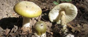 Drammatico pranzo coi funghi killer a Rocca di Papa: 2 morti, 4 familiari gravi