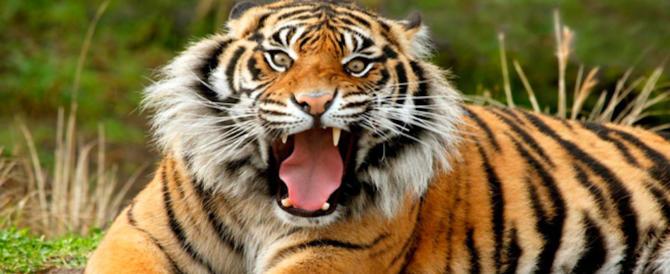India, la tigre che aveva sbranato 13 persone è stata uccisa dai ranger