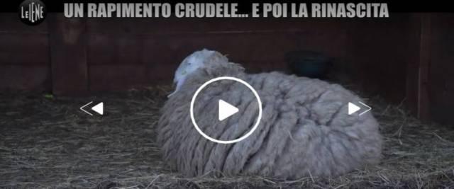 rom rubano pecore