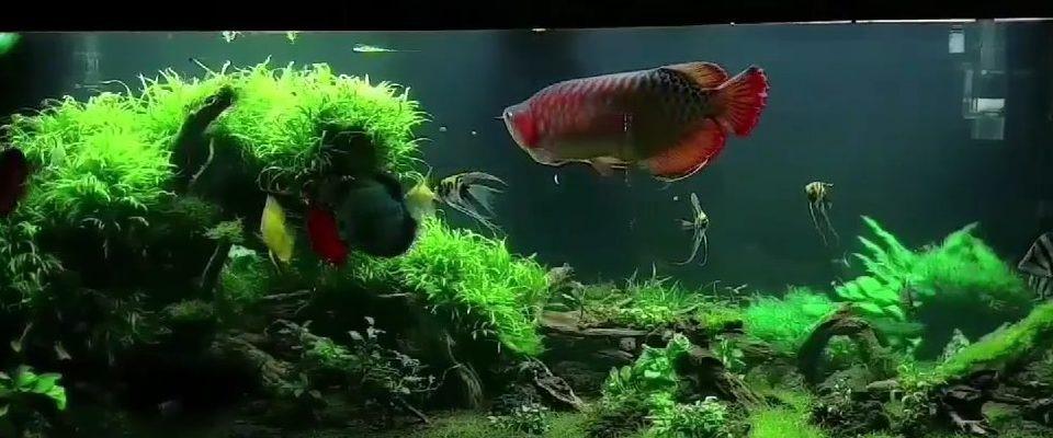 pesce drago acquario