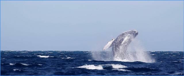 balena inghiotte sub